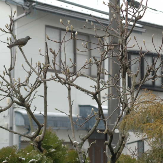 モクレンの木に陣取るヒヨドリ