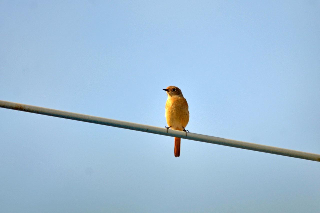 D70_4720今日の鳥ジョウビタキ