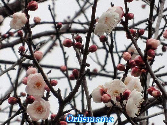 早咲き白梅170107