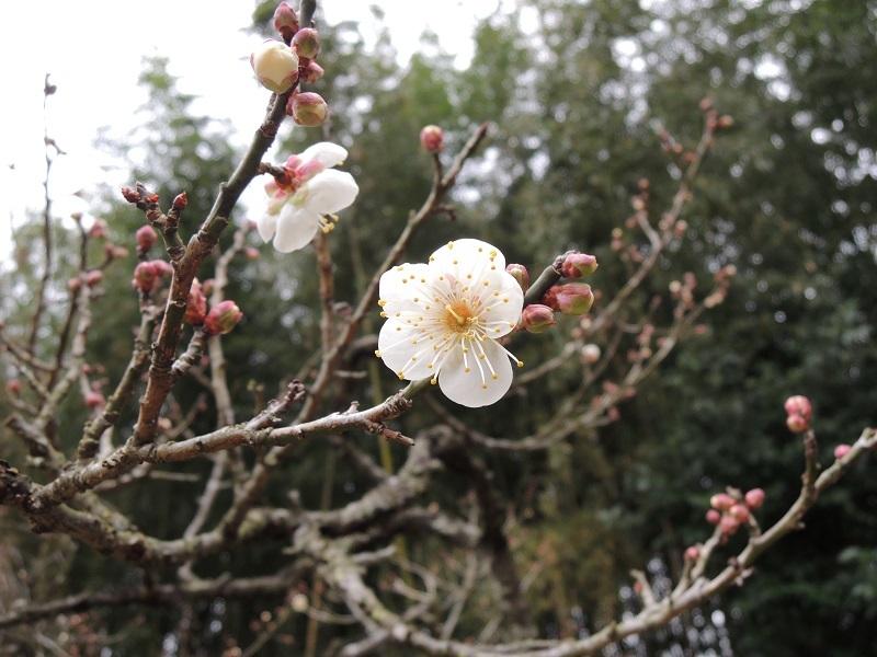 梅も二輪咲いています