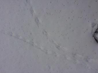 旭山足跡獣2