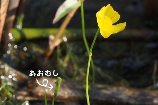ミカワタヌキモ124