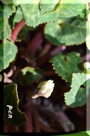 シクラメン芽1