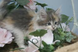 宮城県仙台市、塩釜市のペットショップ/ノルウェイジャンフォレストキャット子猫