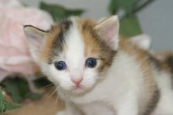宮城県仙台、塩釜のペットショップ/ミックス子猫産まれました