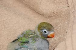 宮城県仙台、塩釜のペットショップ/小鳥情報 ボタンインコ グリーン