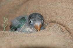 宮城県仙台、塩釜のペットショップ/小鳥情報 ボタンインコ ブルー