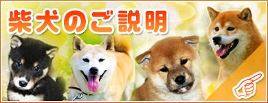 宮城県仙台、塩釜ペットショップ鈴花/柴犬図鑑