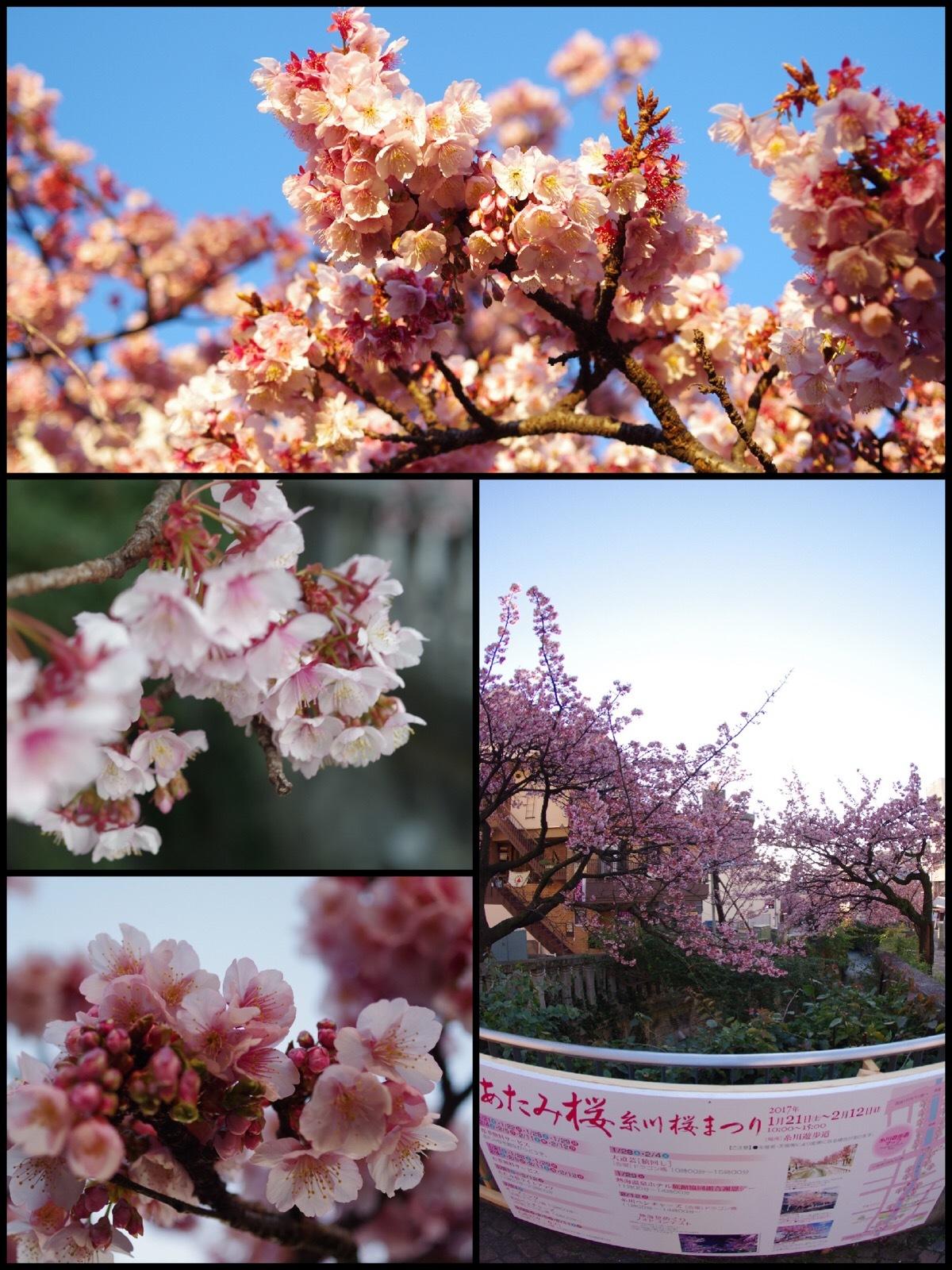 熱海ドライブ旅行 熱海桜まつり 糸川桜まつり