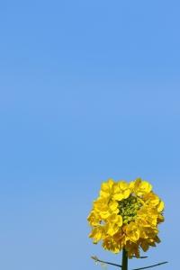 菜の花畑にて(2)