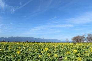 菜の花畑にて(3)