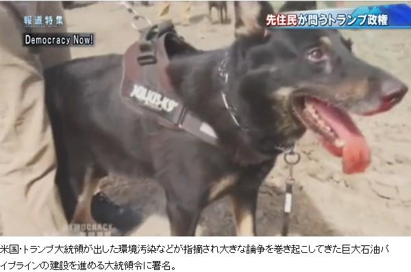 ⑧【変態トランプはパイプライン業者の株を大量保有!】反対派に犬攻撃!沖縄と酷似!