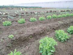 【写真】サヤエンドウが芽をだした三郎畑の様子
