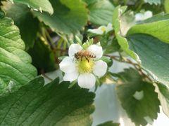 【写真】ミツバチがいちごの花の受粉作業をしているところ