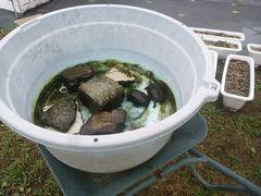 【写真】クロとトラの桶を一輪車で育苗ハウスまで運ぶところ
