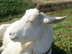 【写真】ヤギのアランが横を向いて目を閉じているところ