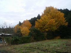 自宅前のイチョウの大木が色付いている様子