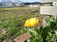 【写真】受付ハウス前の花壇に咲いたキンセンカの花(後ろの土手でアランがウロウロしているところ)