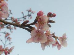 【写真】小糸川沿いの遊歩道に咲いた河津桜