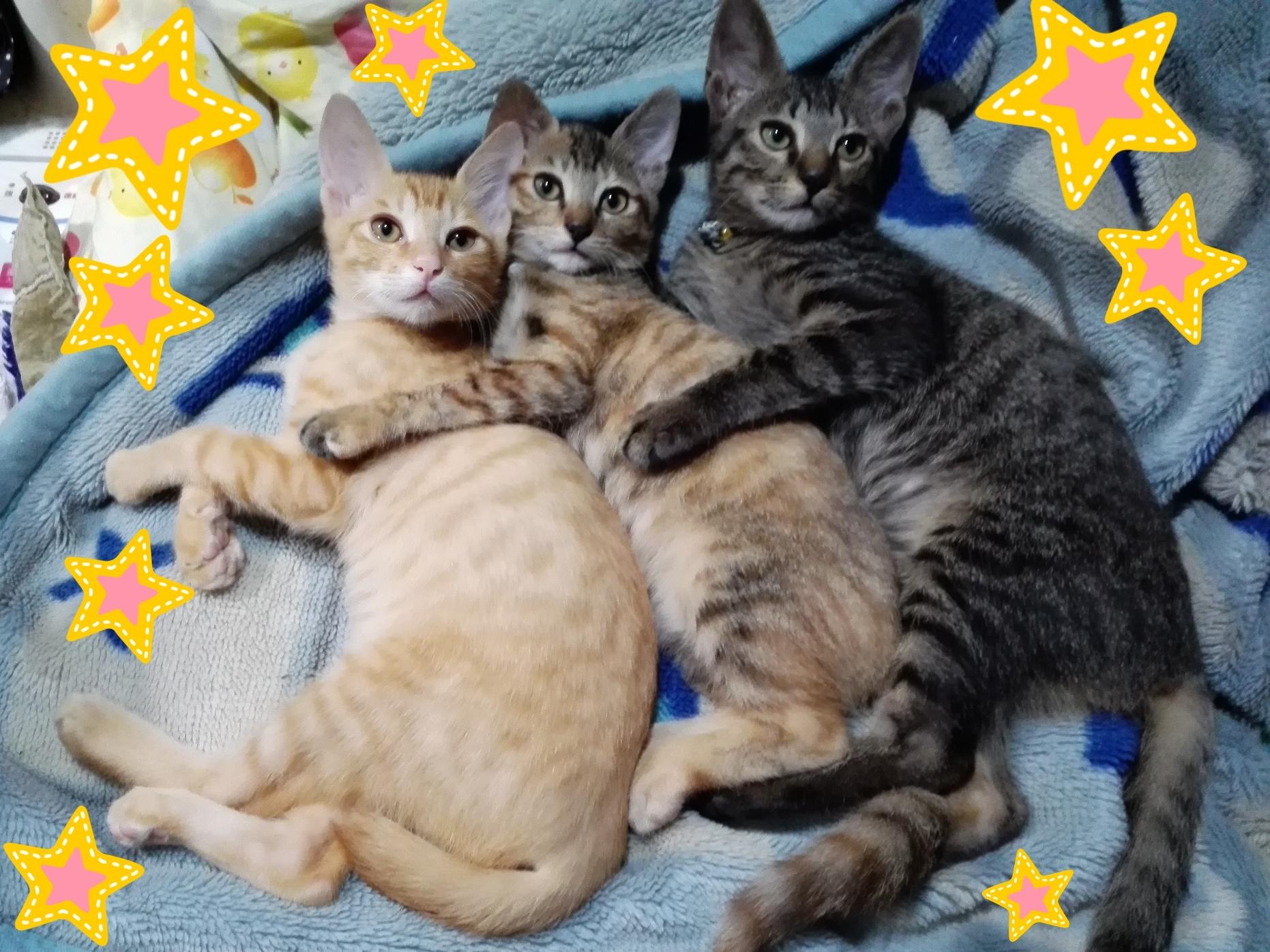 アグネス保護猫三縞さん