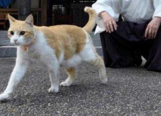 名誉宮司は猫の「あいちゃん」 岡山・伊勢神社で参拝者の人気者1