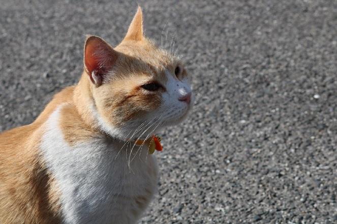 名誉宮司は猫の「あいちゃん」 岡山・伊勢神社画像2