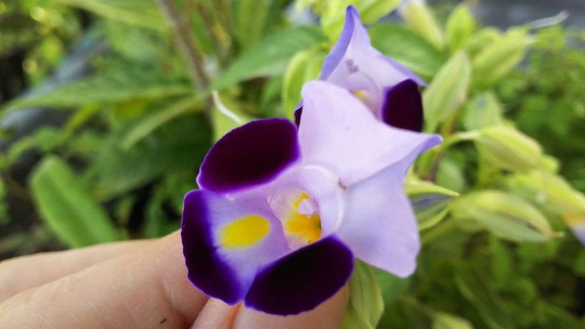 鳥が運んできた種から、屋上の南天の鉢に咲いたすみれに似た花 夏から咲いています2