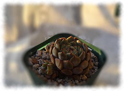 ミニマ交配種