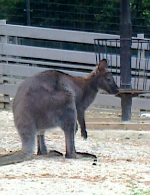 160503-6wallaby.