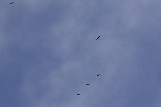 鳶の若鳥の渡り