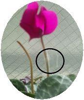 2016_1_2茎を補強したシクラメン2