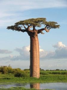 baobabun.jpg