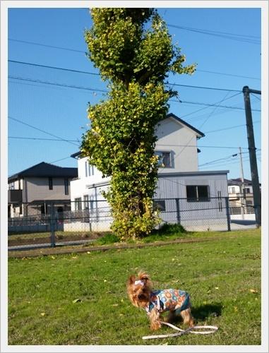 銀杏IMG00266-20161130