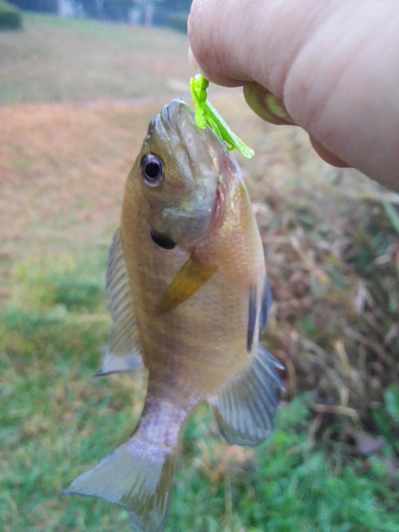 秋 虫 パターン バス ギル 釣り つくば 野池