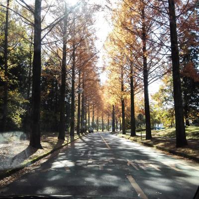 つくば 秋 紅葉 街路樹