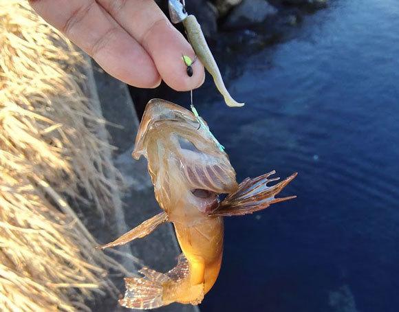 鹿島港 根魚 メバル