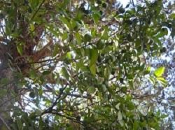 メキシカンライムの木250