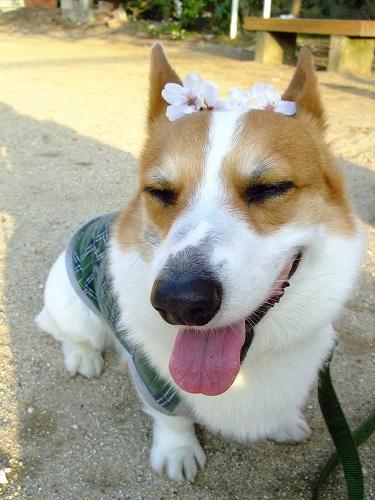 桜のっけて~