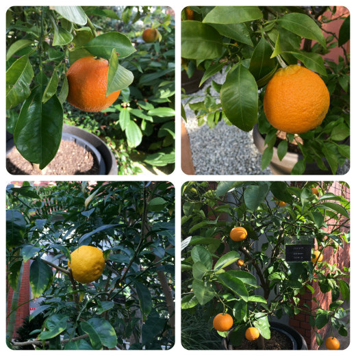 s-921-6柑橘類