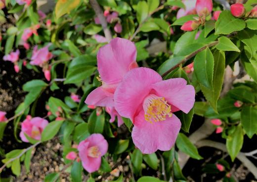 s-921-9香り椿、港の春