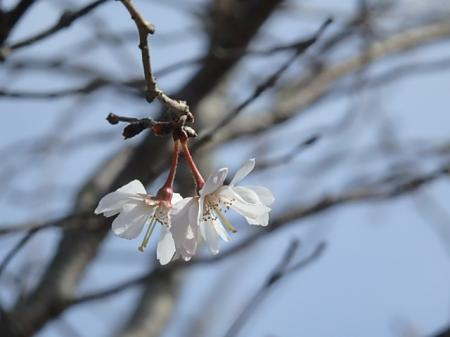 002_convert_20170108094521内瀬の桜