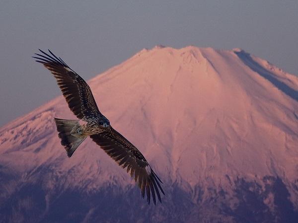 富士山と鳶