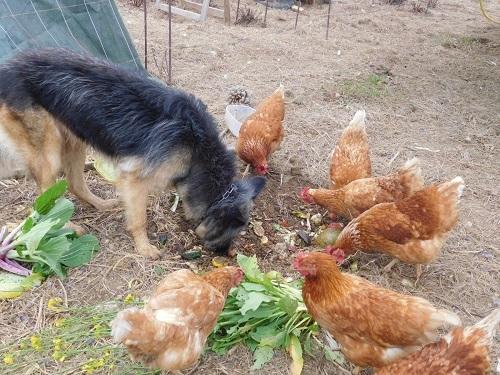 gallinas dentro de invernadero 1 011