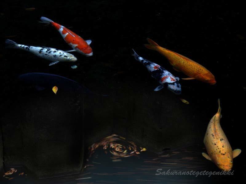 鯉と渦-1