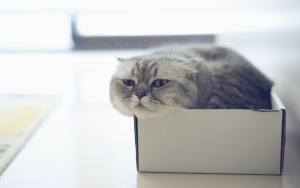 Scottish_Fold_cat_box_2560x1601.jpg