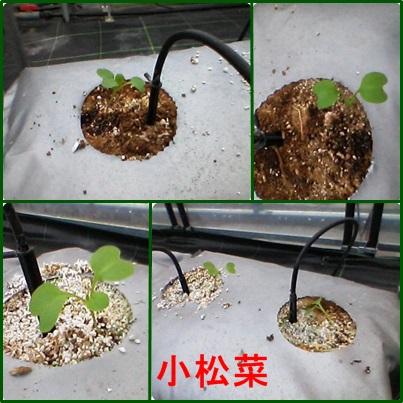 12月24日小松菜植え