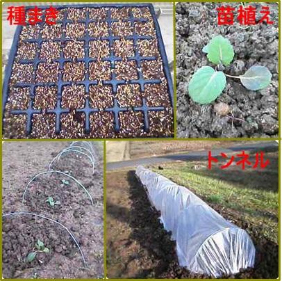 1月31日苗植え、種蒔