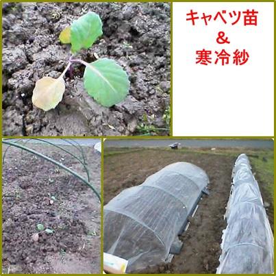 2月1日キャベツ苗植え