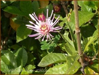 20161205  菊  1   晩秋の花と実