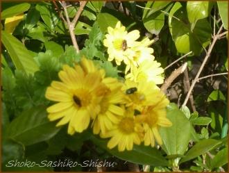 20161205  菊  2   晩秋の花と実